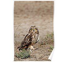Cute - Short-eared Owl (Asio flammeus) Poster