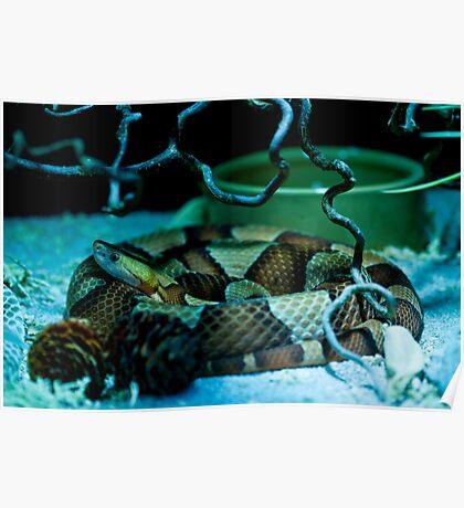 Copperhead pit viper Poster