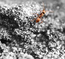 Lone Ant by nadlizgol