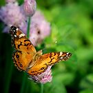 Painted Lady by Diane Blastorah
