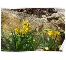 Daffodils  In The Rockery Poster