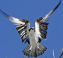 Osprey hovering before landing! by jozi1