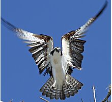 Osprey hovering before landing! Photographic Print