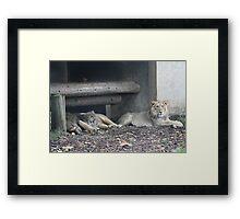 Family of lions Framed Print