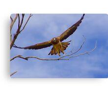 Swainson Hawk in flight Canvas Print