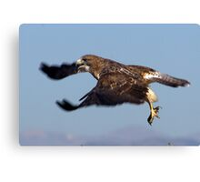 Squawking Swainsons Hawk Canvas Print
