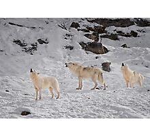 Wolf Karaoke Photographic Print