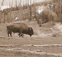 Buffalo and Geyser Basin by Breanna Stewart