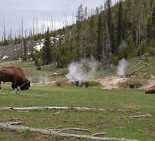 Bison at Geyser Basin by Breanna Stewart