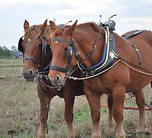 Suffolk Punch by PETED60