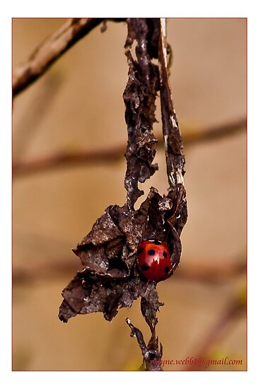Ladybird on dead leaf by Wayniac
