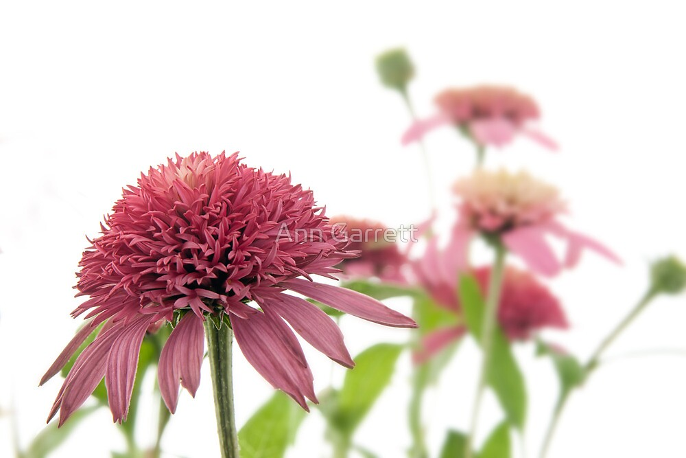 Echinacea by Ann Garrett
