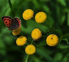 American Copper  - Lycaena phlaeas  by Poete100