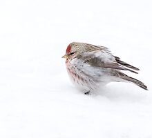 Frosty Redpoll by Wayne Wood