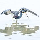 Tricolored Heron hunting behaviour by Daniel Cadieux