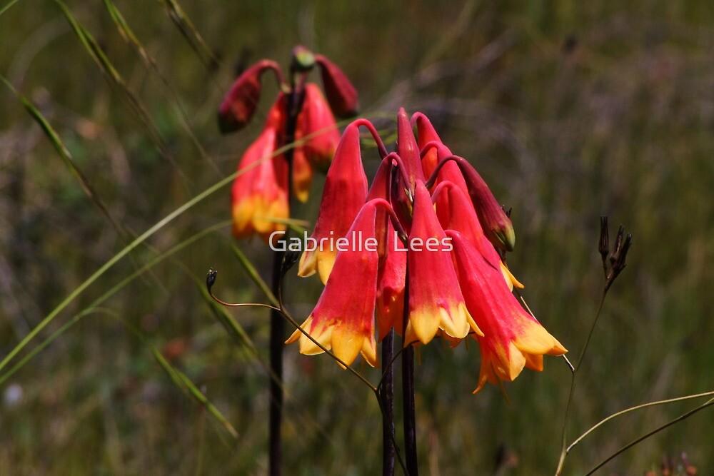 Australian Wildflower - Christmas Bell (Blandfordia grandiflora) by Gabrielle  Lees
