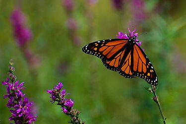 Male Monarch Butterfly on Purple Loosestrife by Steve Borichevsky