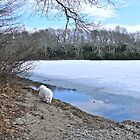 Following A Scent - Winter At Tuckertown Pond - Series 2011 by Jack McCabe