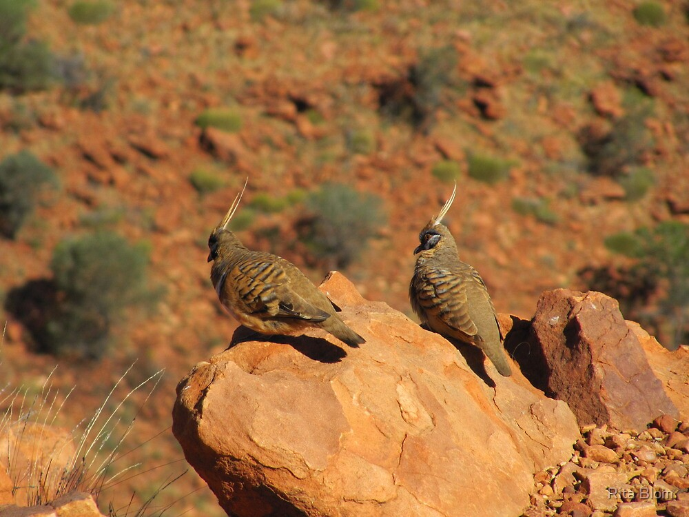The Spinifex Pigeons sunning themselves. N.Territory. by Rita Blom