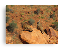 The Spinifex Pigeons sunning themselves. N.Territory. Canvas Print