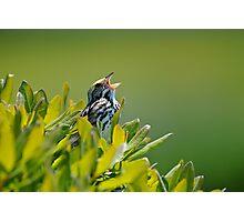 Savannah Sparrow Photographic Print