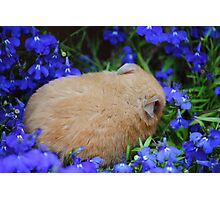 hamster sleeping in flower bed Photographic Print