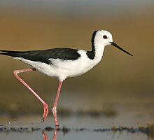 Black-winged Stilt - Lake Linlithgow, Victoria by Rob Drummond
