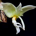Stanhopea inodora by David  Piko