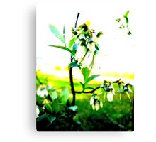Blueberry Buds Canvas Print