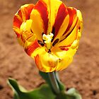 Red and yellow tulip by papillonphoto