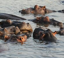 Hippopotamus Pod by steve nicholson