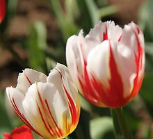Red and white tulips by papillonphoto
