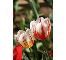 Red and white tulips Photographic Print