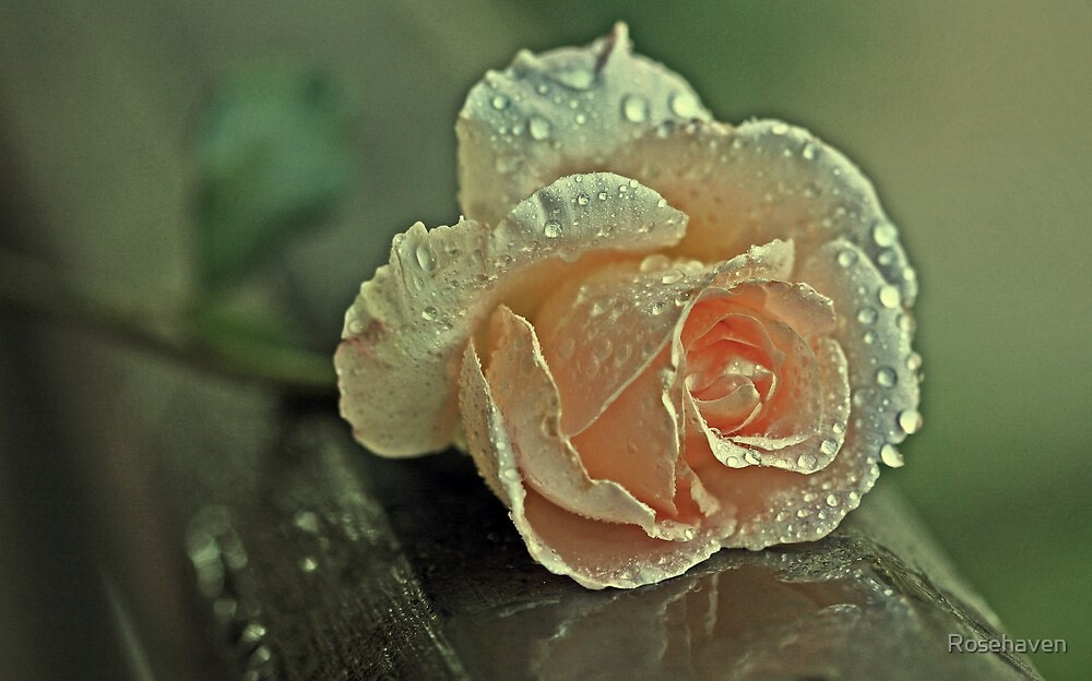 """Shonny's Rose ..."" by Rosehaven"