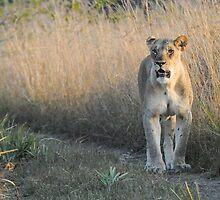 Lion by steve nicholson