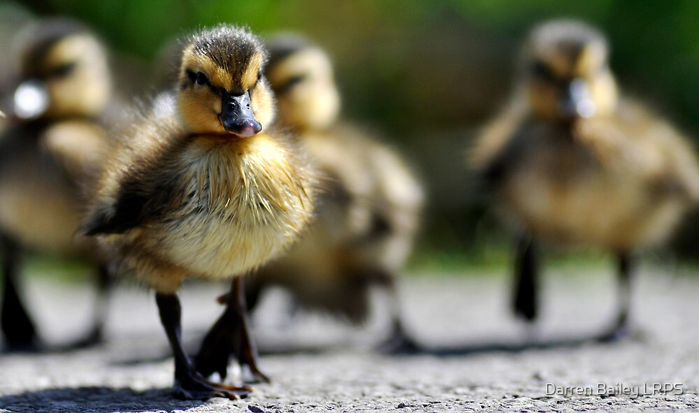 Ducklings on the move  by Darren Bailey LRPS