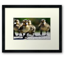 Ducklings on the move  Framed Print