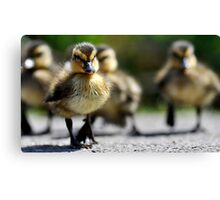 Ducklings on the move  Canvas Print