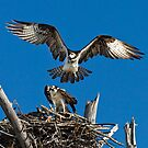The Osprey's by Kathy Cline