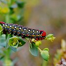 Hyles euphorbiae caterpillar by chrisdeschepper