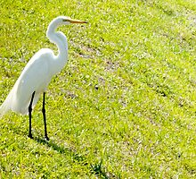 Egret on an embankment by ♥⊱ B. Randi Bailey
