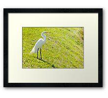 Egret on an embankment Framed Print