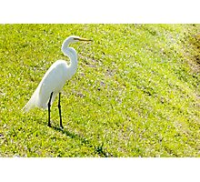 Egret on an embankment Photographic Print