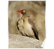 Red Billed Oxpecker Poster