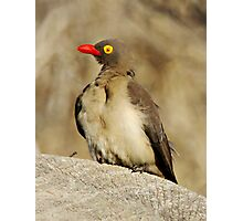 Red Billed Oxpecker Photographic Print
