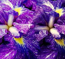 Purple Irises ©  by Dawn M. Becker