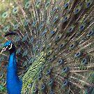 peacock by weglet