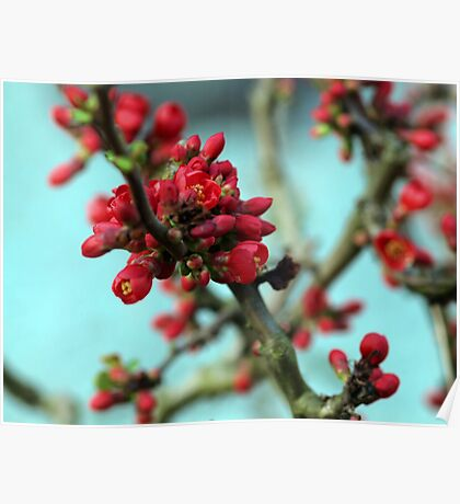 red buds Poster