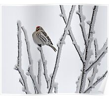 Puffed Redpoll Poster