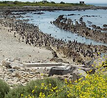 penguins of robben island by shaft77